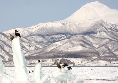 120305羅臼岳バックの流氷上のワシ.jpg